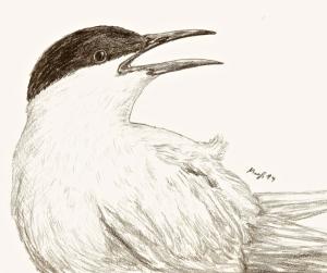 küstenseeschwalbe - Arbeitskopie 2