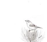 wintergoldhähnchen 2