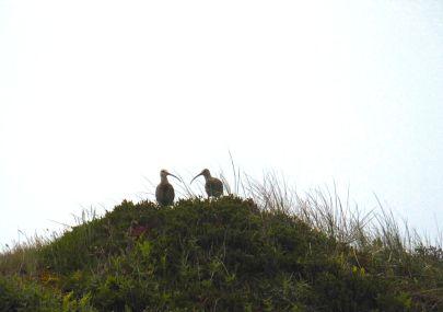 brachvögel pirolatal